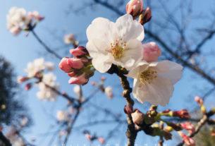 2018年福岡追櫻花攻略。舞鶴公園・西公園・還有不知名的小公園