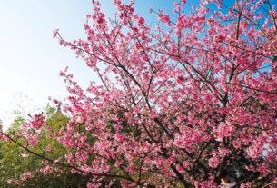 【新北淡水 | 景點】今年的第一場櫻色浪漫❀天元宮 | 淡水雲門星巴克 | 大樹書房